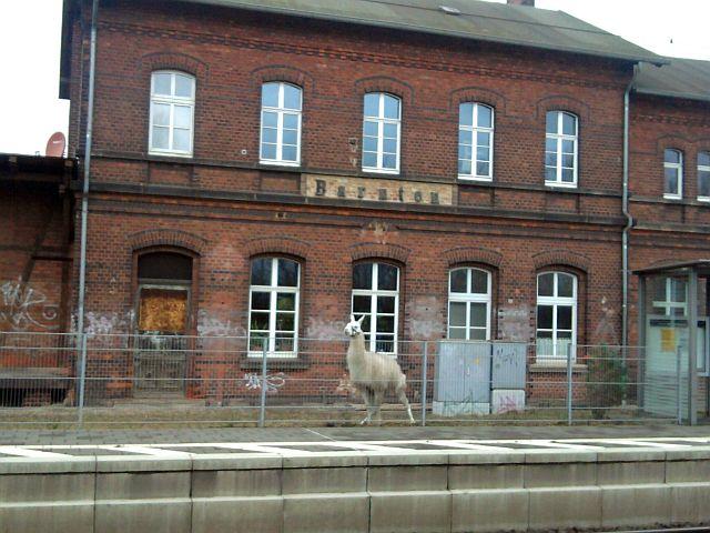Barnten, Lama am S-Bahnhof