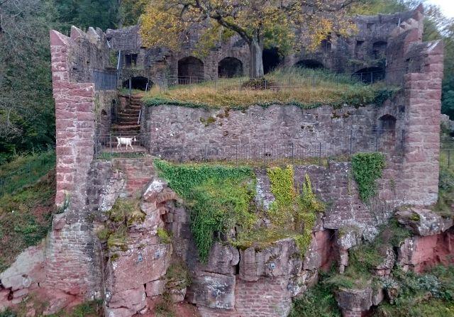 Ruine der Burg Wertheim mit Ziege